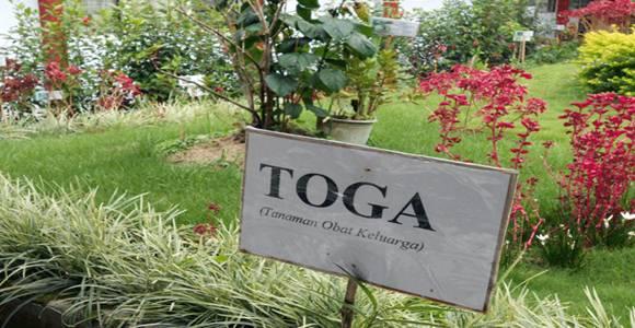 macam-macam tanaman toga untuk kesehatan